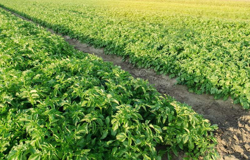 Potatoes plantations grow in the field. Vegetable rows. Farming, agriculture. Landscape with agricultural land. Fresh Organic. Vegetables. Crops stock photo