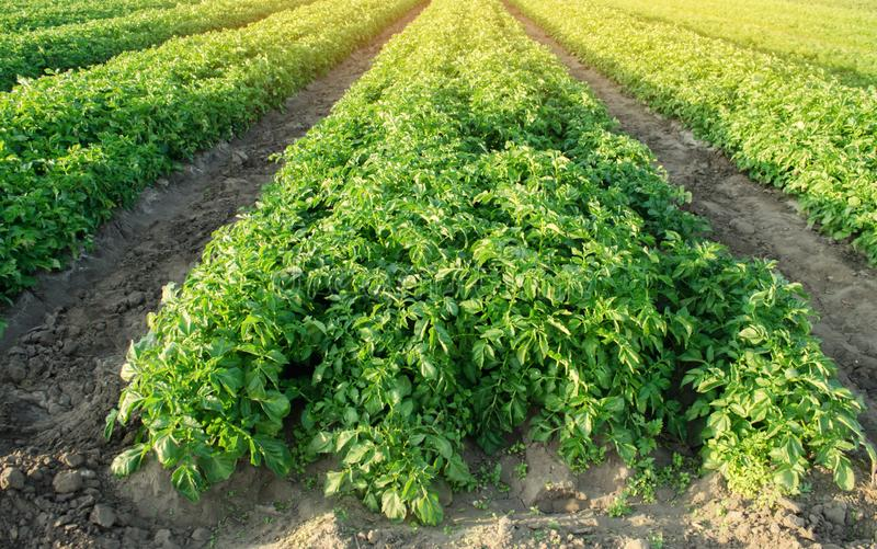 Potatoes plantations grow in the field. Vegetable rows. Farming, agriculture. Landscape with agricultural land. Fresh Organic. Vegetables. Crops stock photography