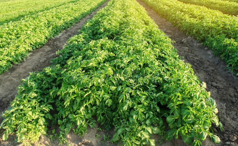 Potatoes plantations grow in the field. Vegetable rows. Farming, agriculture. Landscape with agricultural land. Fresh Organic. Vegetables. Crops royalty free stock photo