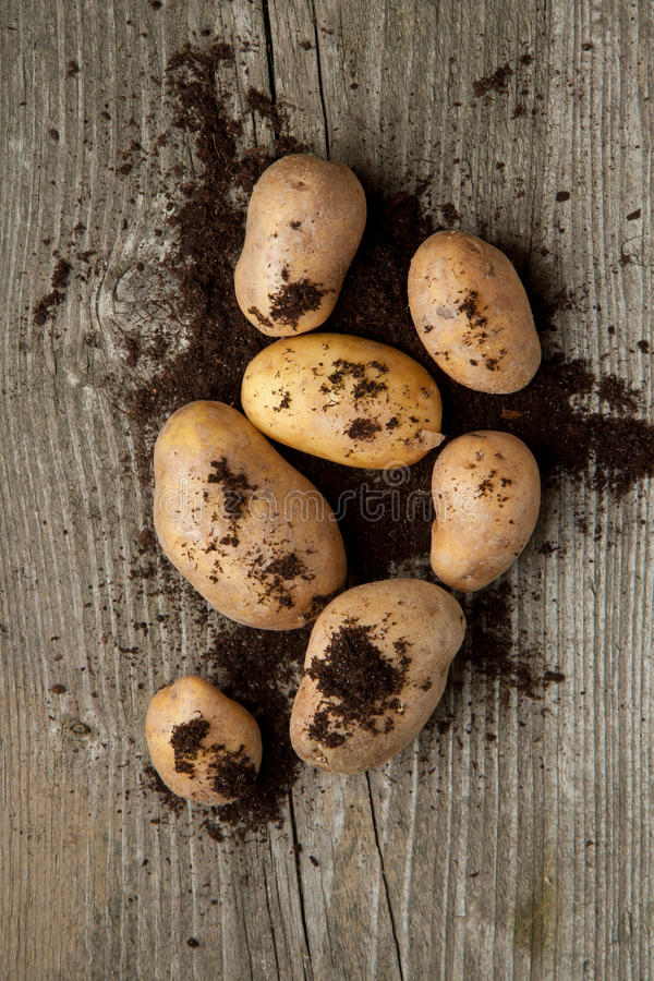 Potatoes in soil stock image
