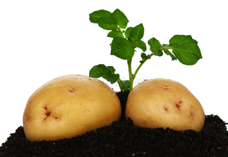 Potatoes with sprout royalty free stock photography