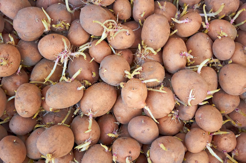 Download Potatoes Tubers With Germinated Sprouts Stock Image - Image: 25097961