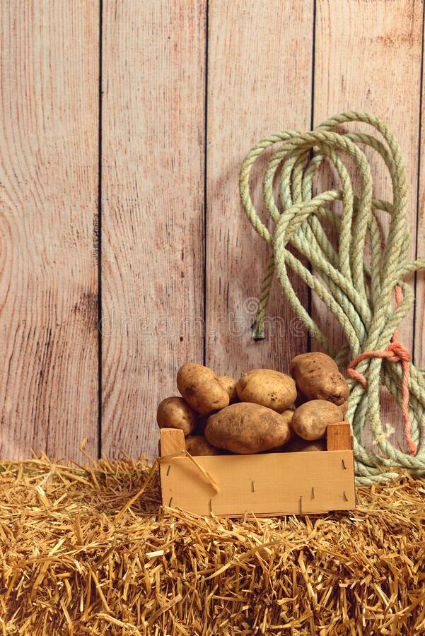 Potatoes in wood box with rope on hay royalty free stock photography