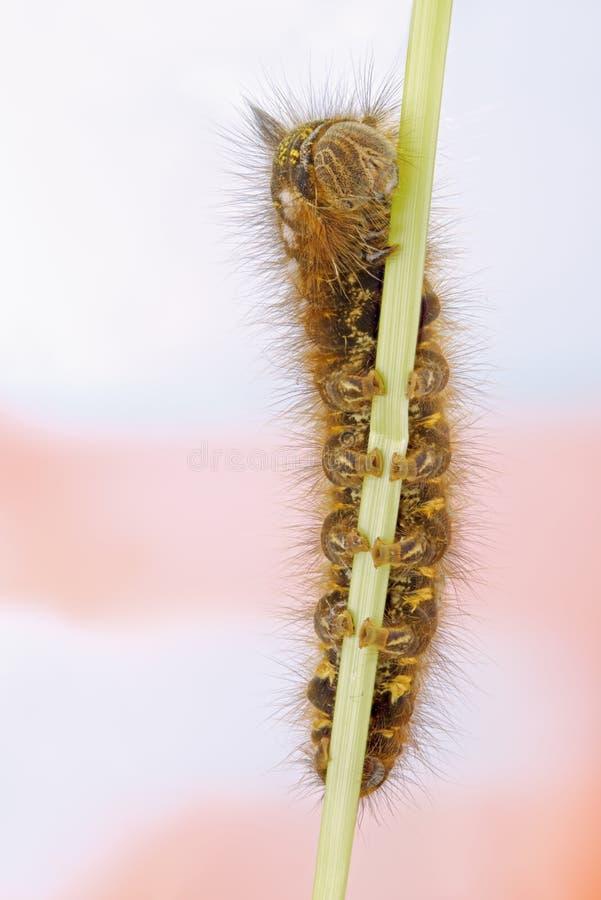 Potatoria di Caterpillar Euthrix fotografia stock