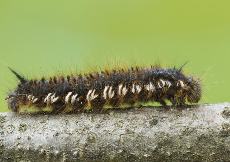 Potatoria di erbe di Caterpillar Econopred Euthrix fotografie stock