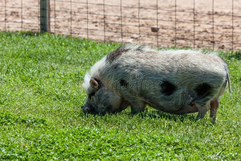 Potbelly świnia obraz stock