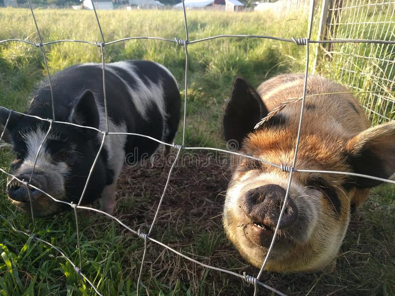 Potbelly świnia obrazy royalty free