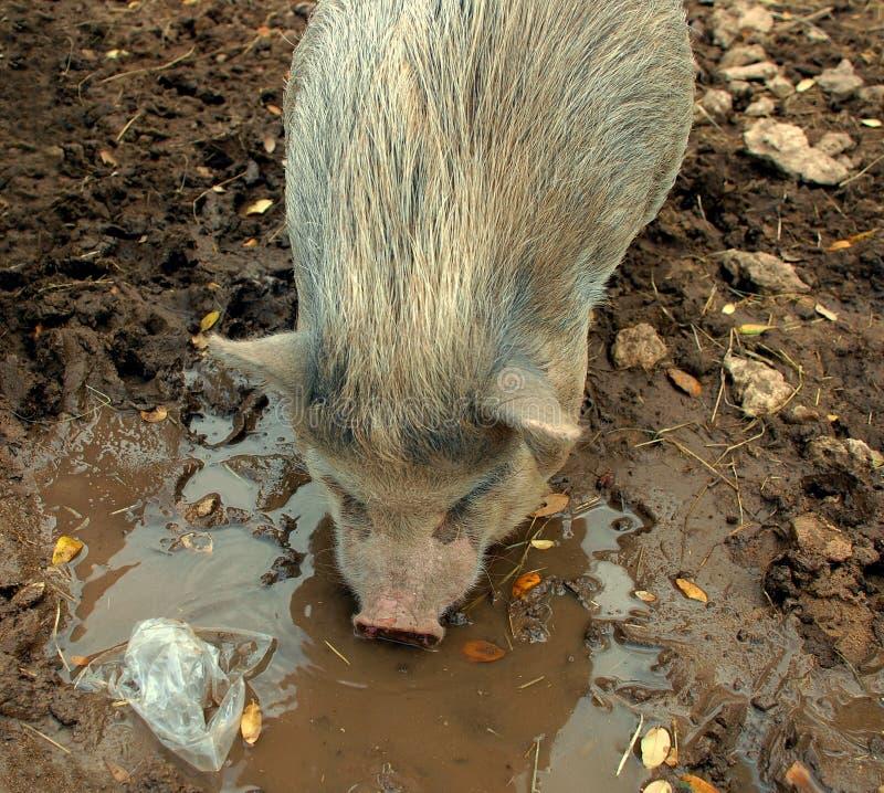potbelly świniowaty grat obrazy stock
