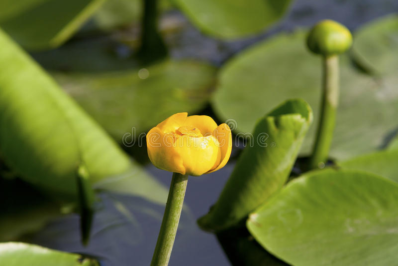 Potbelly żółty kwiat letni dzień. fotografia royalty free