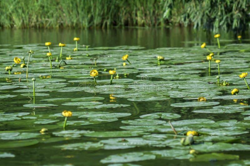 Potbelly kolor żółty, genus odwiecznie nadwodne rośliny rodzinni grzybienia fotografia stock
