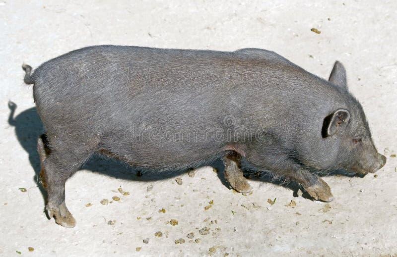 Potbelly wietnamska Świnia zdjęcia royalty free