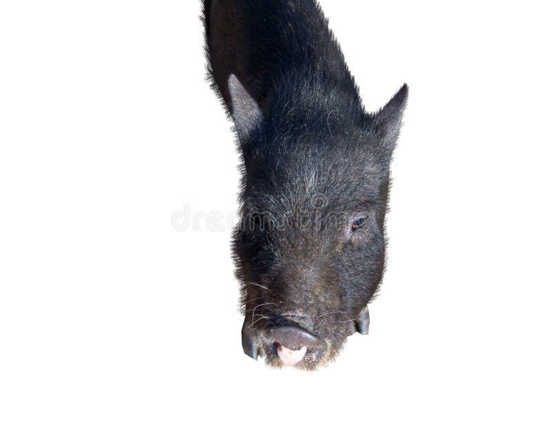 Potbelly wietnamska Świnia zdjęcie stock
