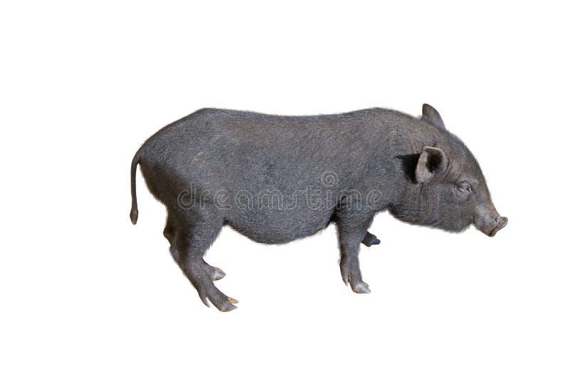 Potbelly wietnamska Świnia fotografia stock