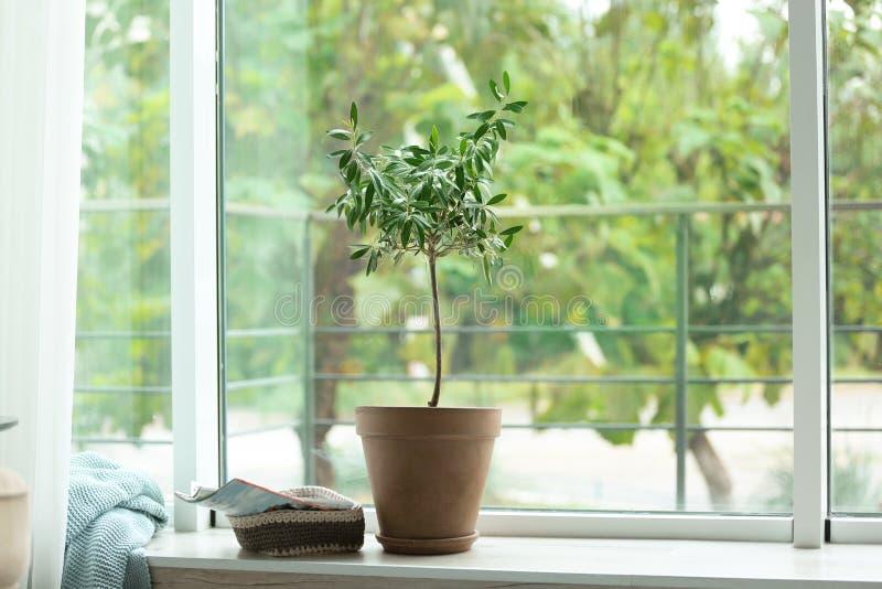 Pote con el olivo en travesaño de la ventana fotografía de archivo libre de regalías