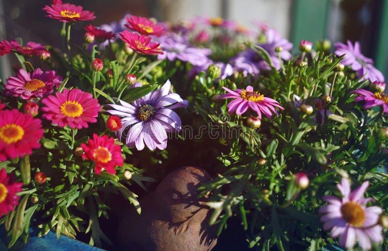 Pote de la planta con las flores p?rpuras imagen de archivo libre de regalías