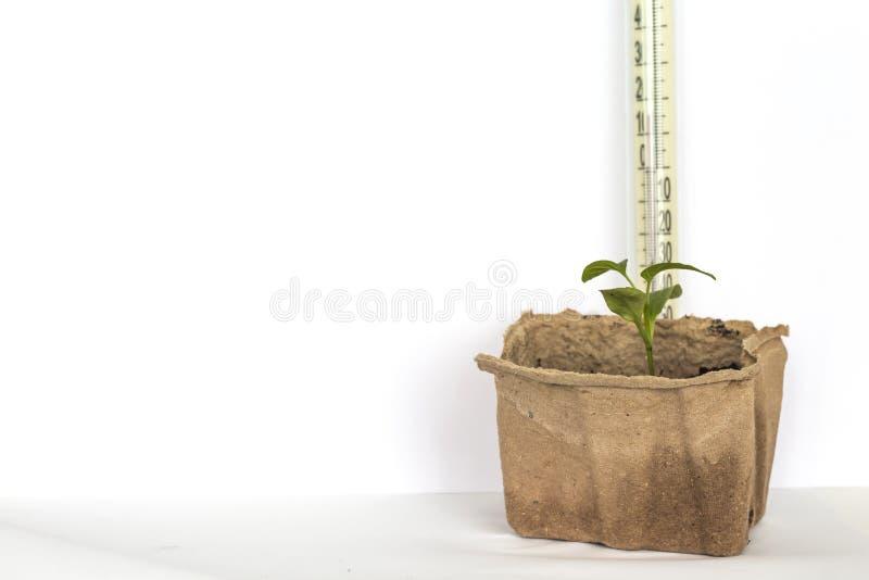 Pote de la turba con pimienta verde en el fondo blanco con el espacio y el termómetro de la copia, mantener temperatura foto de archivo libre de regalías