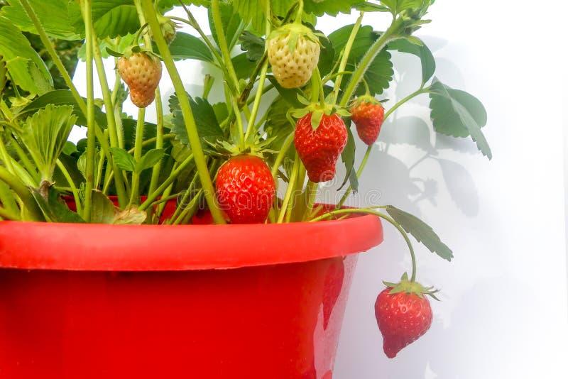 Pote rojo de la planta de fresa en blanco imagenes de archivo