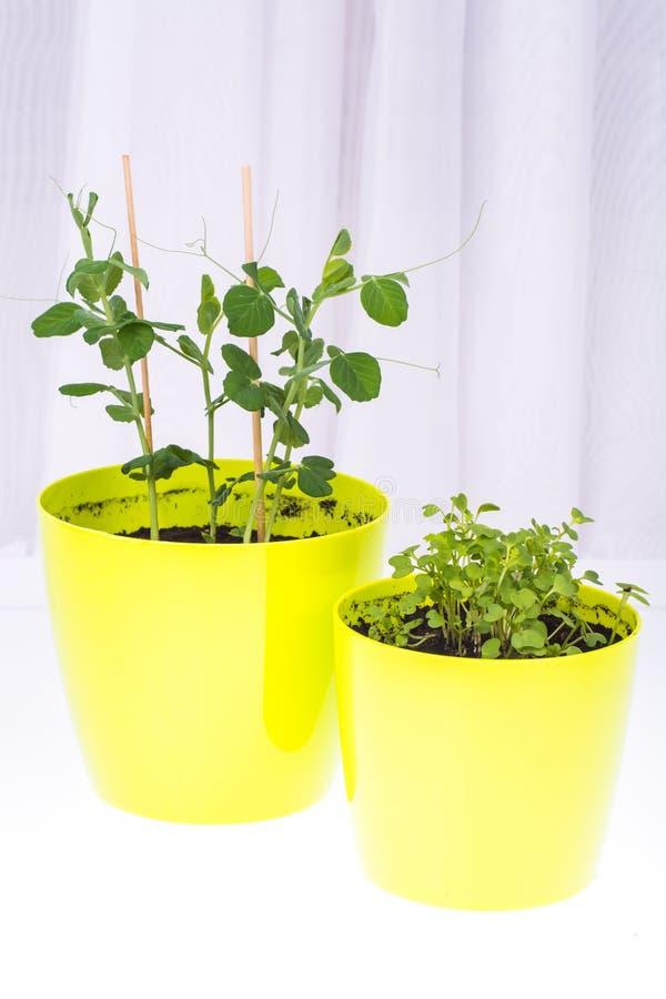 Pote verde con los lanzamientos jovenes de las hierbas vegetales imagen de archivo
