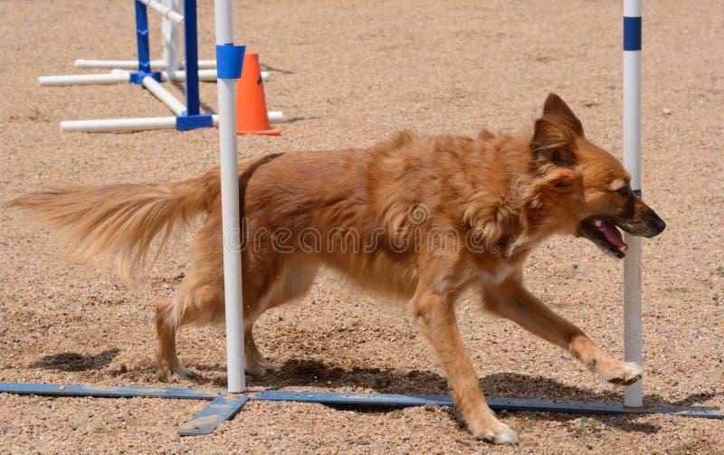 Poteaux d'agilityweave de chien images libres de droits