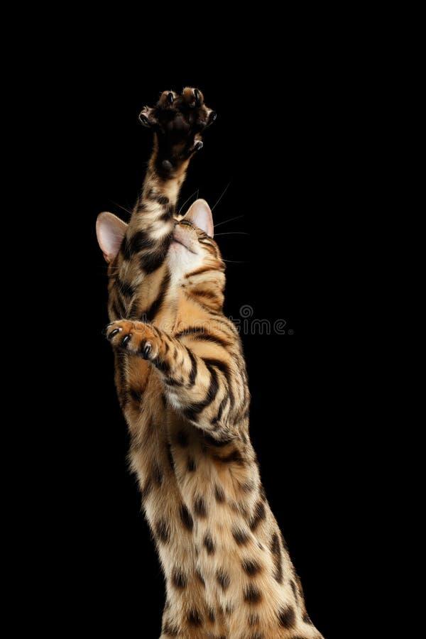 Poten van close-up de Speelse Bengalen Cat Raising omhoog, Zwarte Geïsoleerde Achtergrond stock foto