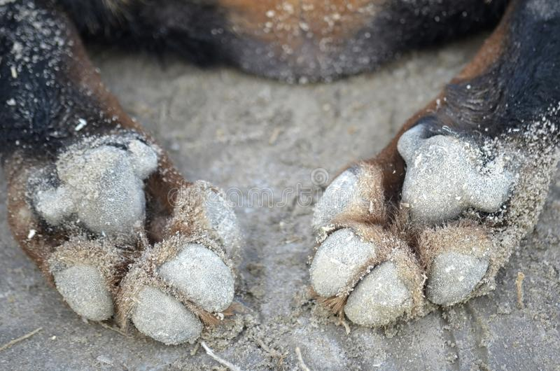 Poten van een hond op het zand groot duidelijk stock afbeelding