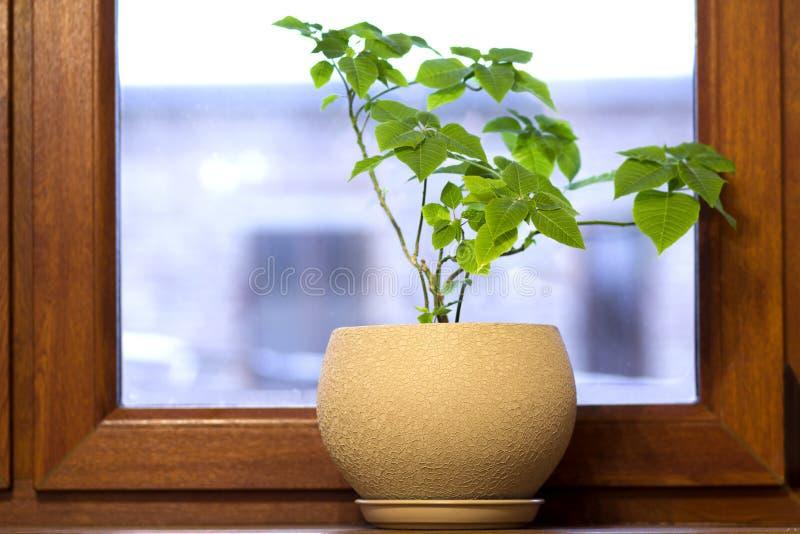 Potenciômetro amarelo com a planta verde no peitoril de madeira da janela foto de stock royalty free