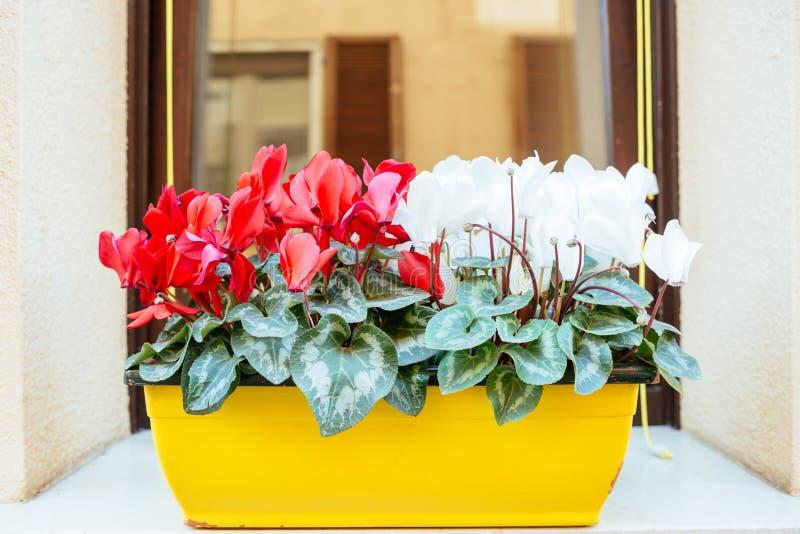 Potenciômetro de flor com cíclame fotos de stock royalty free