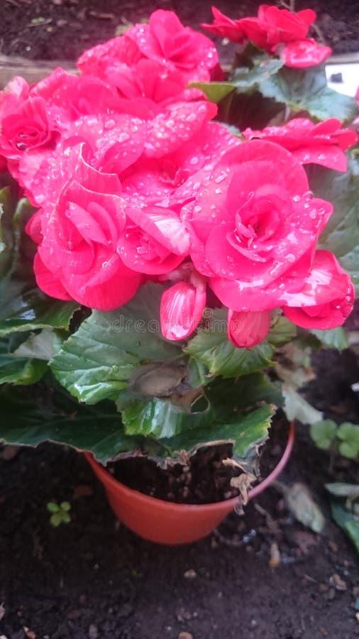 Potenciômetro de flores foto de stock royalty free