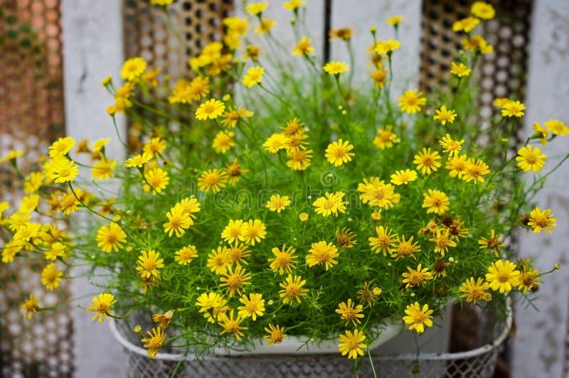 Potenciômetro de flores amarelas pequenas da margarida imagens de stock royalty free