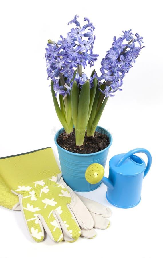 Potenciômetro dos hyacinths com lata molhando e luvas imagens de stock