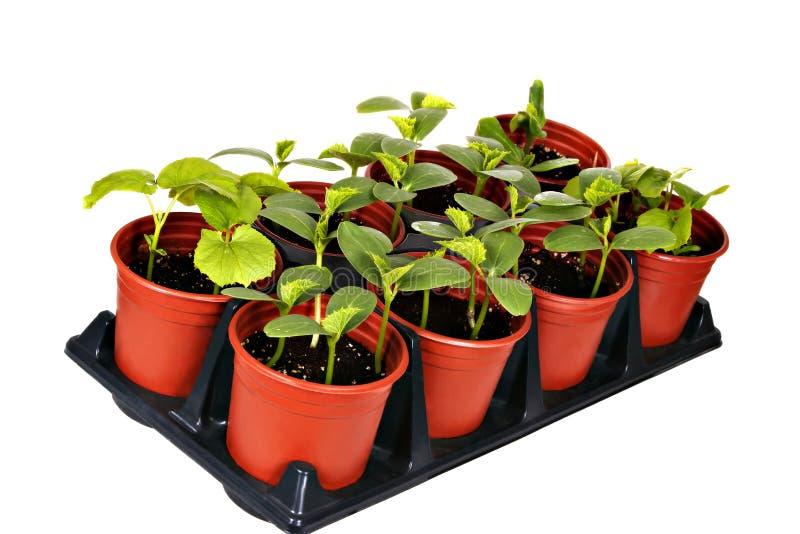 Potenciômetro vegetal do berçário imagens de stock royalty free
