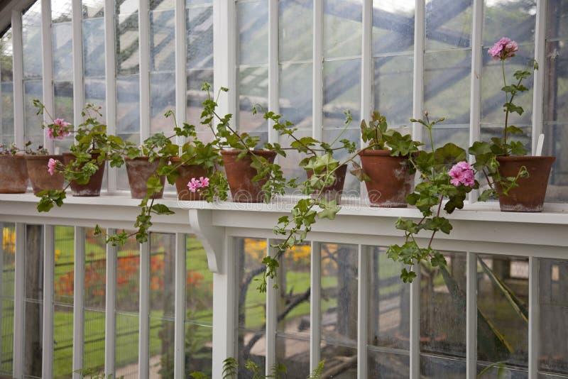 Potenciômetros da terracota que crescem gerânio em uma prateleira em uma estufa vitoriano velha fotos de stock