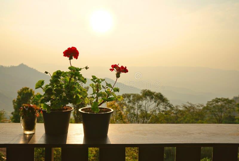 Potenciômetros gerânio ou de flor zonal vermelha do Pelargonium na tabela de madeira fotos de stock