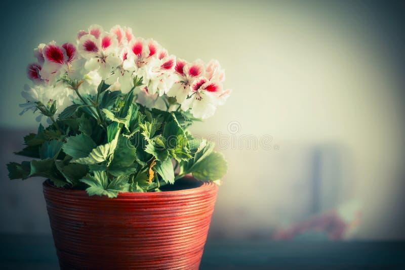 Potenciômetro com as flores home bonitas do gerânio fotos de stock royalty free