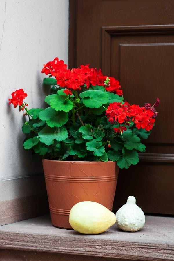 Potenciômetro com flores do gerânio fotos de stock