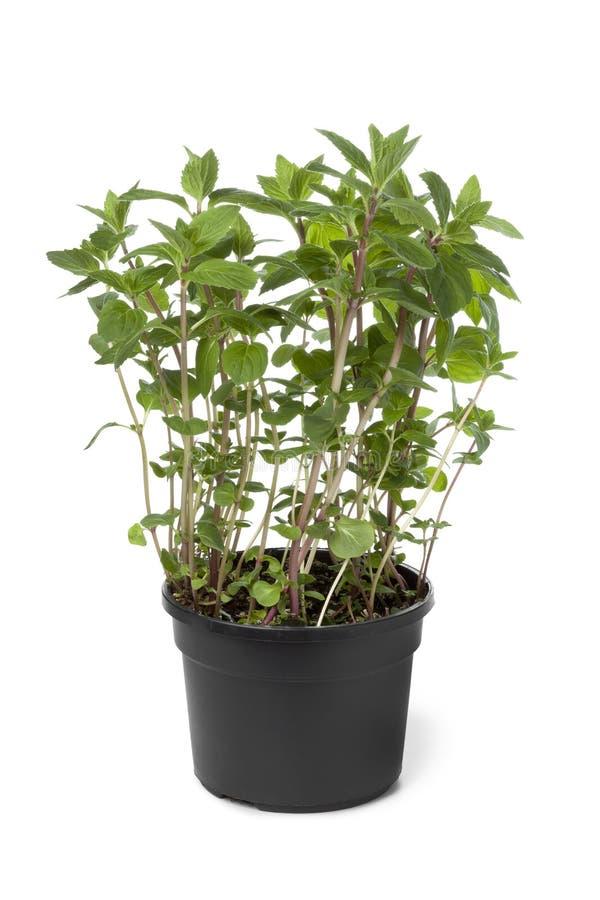 Potenciômetro com planta da gengibre-hortelã foto de stock royalty free
