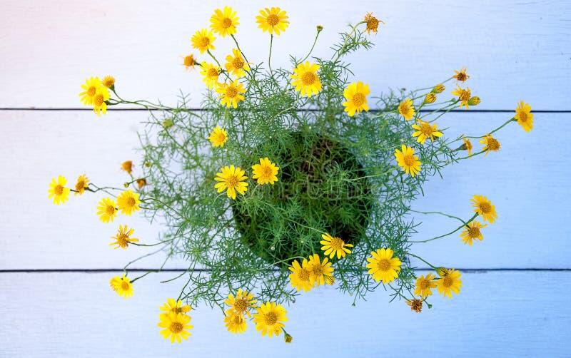 Potenciômetro da flor amarela da margarida fotos de stock royalty free