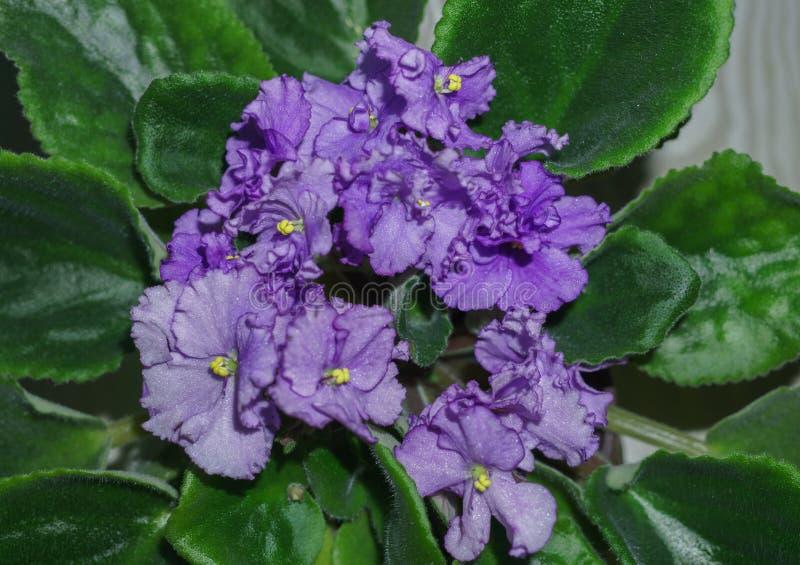 Potenci?metro de flor de violetas africanas roxas de floresc?ncia Saintpaulia imagem de stock