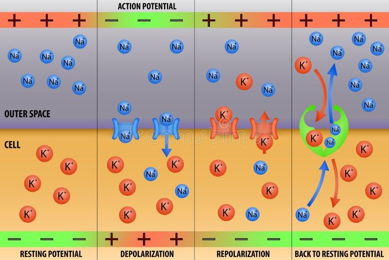 Potencial de acción del impulso de nervio de la neurona stock de ilustración