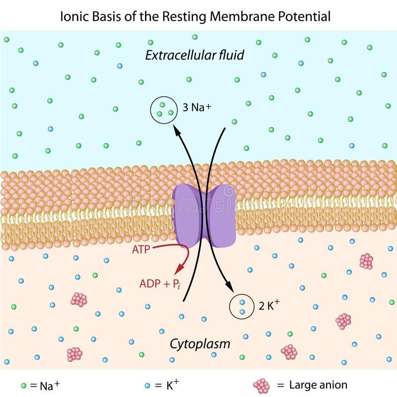Potencial de reclinación de la membrana libre illustration