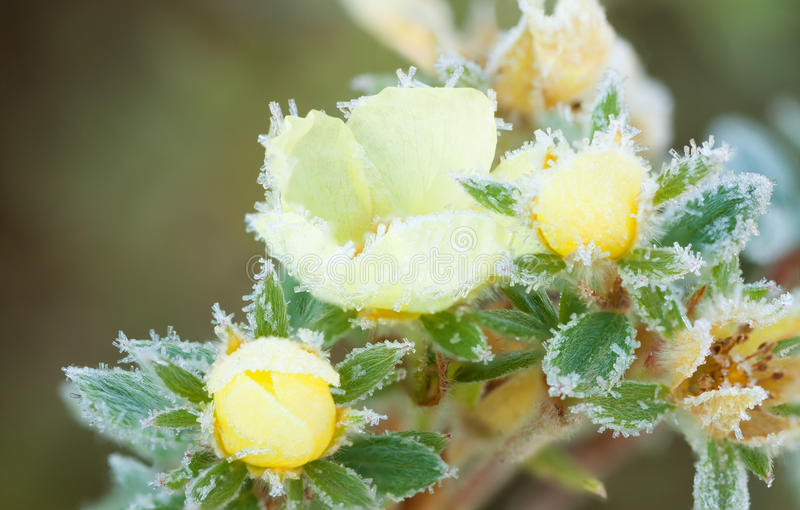 Potentilla bush with yellow frost flowers. In hoarfrost close up royalty free stock photos