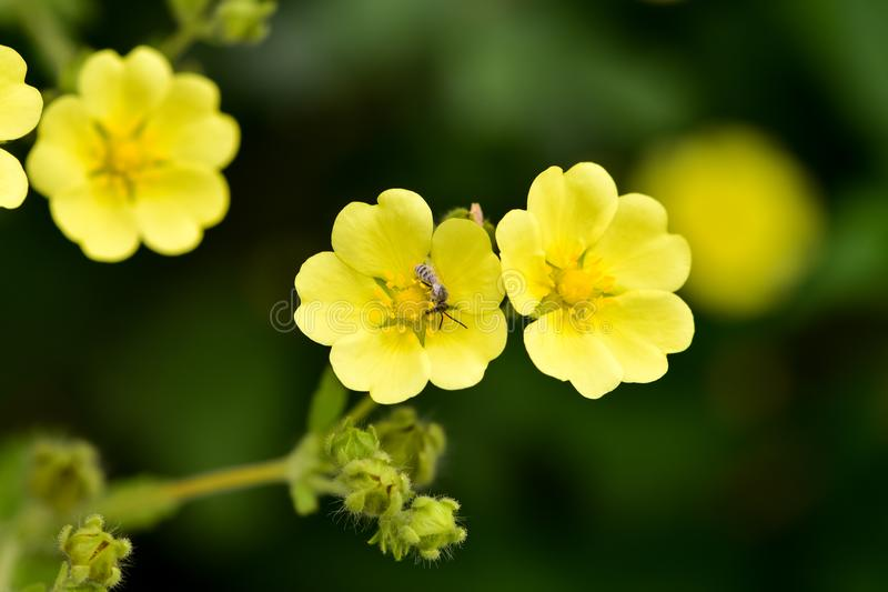 Potentilla mince de floraison de Cinquefoil gracilis photo stock