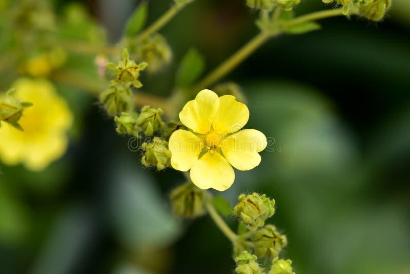 Potentilla mince de floraison de Cinquefoil gracilis image libre de droits