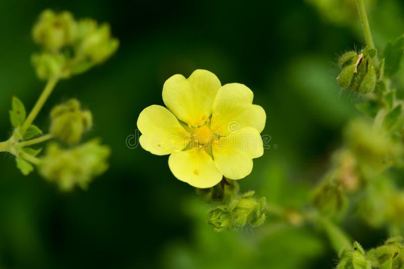 Potentilla mince de floraison de Cinquefoil gracilis photo libre de droits