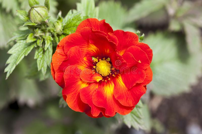Potentilla `William Rollison`. A red semi double flowered plant stock photo