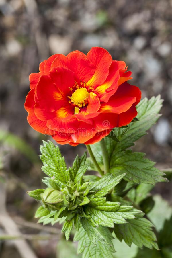 Potentilla `William Rollison`. A red semi double flowered plant royalty free stock images