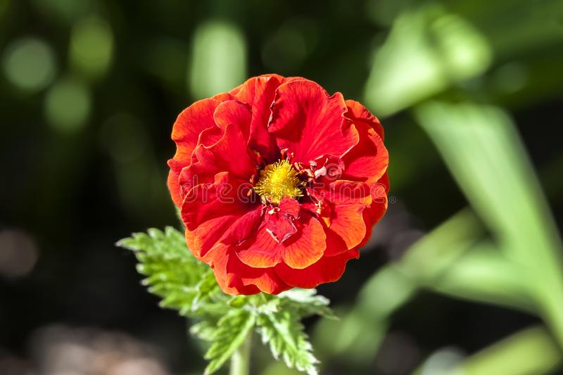 Potentilla `William Rollison`. A springtime summer red flower small shrub commonly known as cinquefoil royalty free stock image