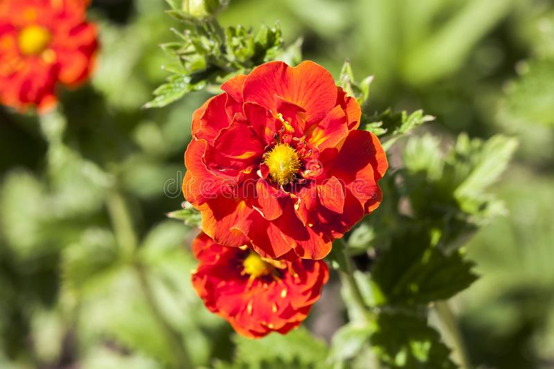 Potentilla `William Rollison`. A springtime summer red flower small shrub commonly known as cinquefoil royalty free stock photo