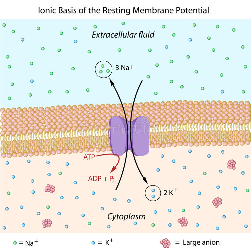 Potenziale di riposo della membrana royalty illustrazione gratis