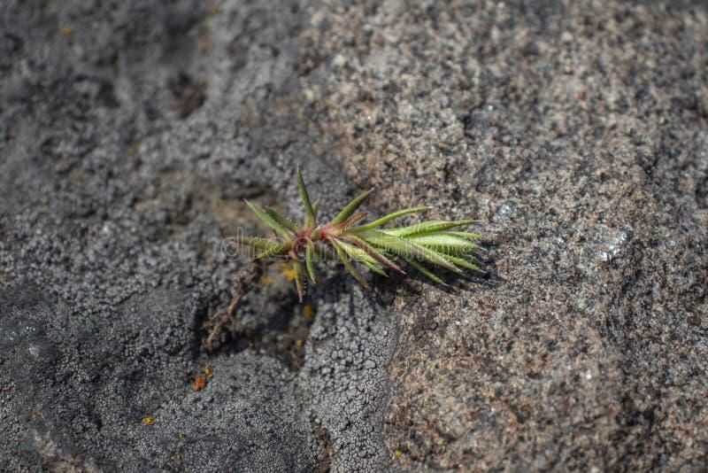Potere del muschio; si sviluppa fra le pietre ed assorbe l'anidride carbonica immagini stock